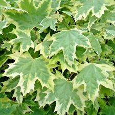 """20 SILVER KING NORWAY MAPLE SEEDS - Acer platanoides """" silver king """""""