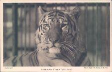 Postcard Siberian Tiger Molock   London Zoo by F.W.Bond  unposted.