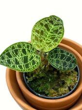Macodes petola - blühstarke Pflanze