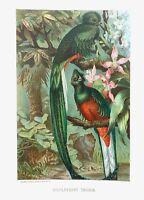 1885 Prang Chromo RESPLENDENT TROGON BIRD/Birds WONDERFUL COLOR PRINT L@@K!