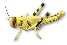 Live Locusts  Extra-Large XL HALF BULK BAG 50 (from Livefood UK Ltd)