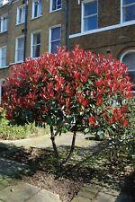 30 Photinia Fraseri Flowers Bush Trees Seeds Exotic Hedge Beautiful Garden Plant