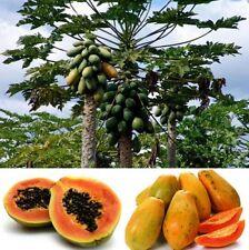 FD944 Sweet Papaya Seeds Kakdam Tropical Subtropical Subarctic Fruit Plant 10PCs