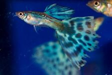 6  1/2 inch Fry of Multi Colored Delta Show Guppies