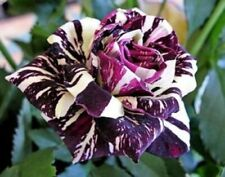50 semi di ROSA BLACK DRAGON + OMAGGIO