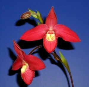 Phragmipedium Apple Pie
