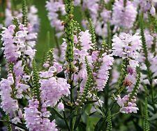Obedient Plant Seeds, Pink, False Dragonhead Seeds, Perennial Wildflower, 50ct