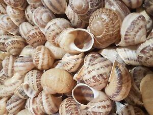 Shells - 500 Small Escargot/Snails Shells for Shelldwelling Cichlids/Tank Decor