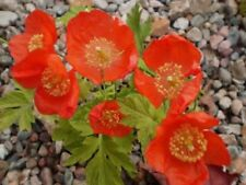 Fairy Flower Seeds x50 seeds MECONOPSIS Cambrica Frances Perry