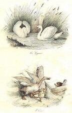 OISEAUX: Swan, WIDGEON; Cygnes; oiel. Buffon; Antique print 1841