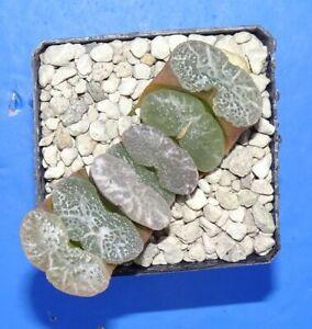 2851 Haworthia truncata 'NIAGARA FALLS' XXL!, phyto available