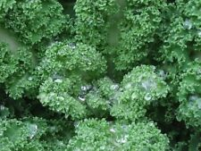 Kale Seeds Vates Blue Curled Kale 3,000 Seeds