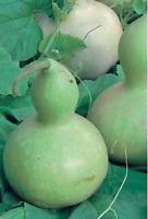 CALABAZA DEL PEREGRINO  30  Semillas Seeds