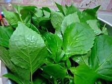 Tree Basil or Ocimum gratissimum Seeds Thai aroma