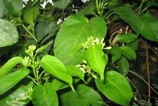 new! 10 seeds Gymnema inodorum Thai Herbs Vegetable Chiang Dao