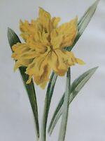 ANTIQUE PRINT C1900 DOUBLE TRUMPET DAFFODIL GARDEN FLOWERS BOTANY PLANTS BOTANY