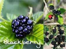 10 ORGANIC BLACKBERRY Seeds (Rubus Ursinus) Sweet Edible Fruit Garden Shrub