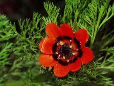 200+ semillas verano-mathildae-Adonis aestivalis