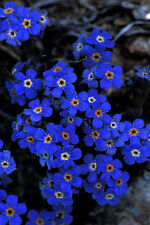 FORGET ME NOT 'Firmament Blue' 50+ seeds flower garden EASY TO GROW Cynoglossum
