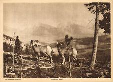 Antique Mountain Sheep Ram Carl Rungius Photo Gravure Art Print
