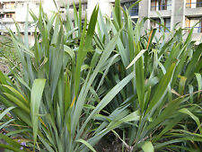 New Zealand Flax (Phormium tenax)  40 Seeds