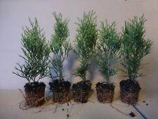 Lebensbaum Thuja occidentalis  Smaragd  T.B.6  15-20 cm 50 Stück