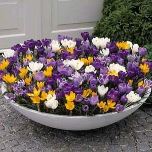 50 Large Flowering Crocus Bulbs - Free P&P
