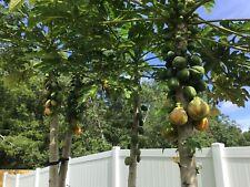 30 Fresh Seeds Solo HAWAIIAN PAPAYA Hawaii Tropical Fruit