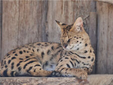 Savannah Sleeping On Wood Cute Cat Poster Print Paper Or Wall Vinyl