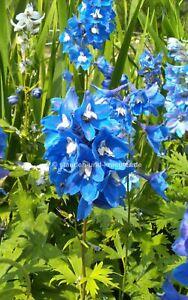 """Mittelblauer Rittersporn (Delphinium x """"Blue Bird"""") Pflanze im 9cm-Topf"""