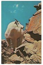 BIG WHITE Male MOUNTAIN GOAT Postcard Vintage Bovine On The ROCKS
