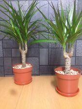 2x Dragon Tree House Plant  Dracaena marginata  30-35cm