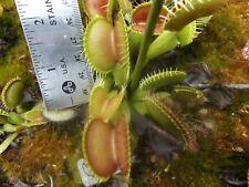 70 Schuppensteil 1, venus flytrap carnivorous plant seeds