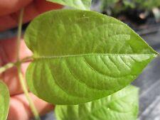"20 to 24"" Tall Vietnam Herb Vine Lá mơ Paederia foetida Vegetable Plant"