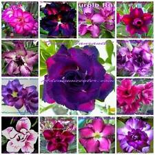 "ADENIUM OBESUM "" DOUBLE & TRIPLE FLOWERS PURPLE "" MIXED / ASSORTED 20 seeds"