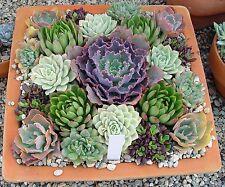 20 Echeveria Mix Seeds, Fresh Exotic Flower Seeds Indoor Pot Plant