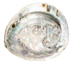 NaDeco Haliotis midae 12-16cm Abalone Schnecke Abalone Muschel Seeopal Meerohr