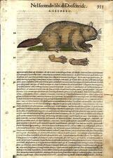 Stampa antica ERBARIO MATTIOLI MATTHIOLI Castoro Beaver 1568 Old antique print