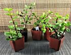 5 Live Plants Beginners Plants Money Tree free shipping in the U.S. Fast Ship