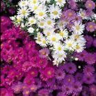 Michaelmas Daisy - Nostalgia Mixed, Border Flower - Kings Seeds - 75 Seeds