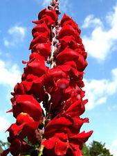 12 graines de GUEULE DE LOUP ROUGE(Antirrhinum Majus)X158 RED SNAPDRAGON SEEDS