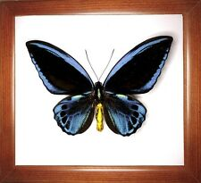 Real Insect: Ornithoptera urvillianus male in frame made of expensive wood