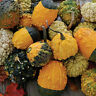 Gourd Seed: Small warted mix Gourd Seeds Fresh Seed FREE Shipping