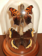 Question Mark and Mourning Cloak Butterfly Dome