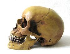 Anatomie Schädel anatomic scull mit Unterkiefer Markus Mayer Totenkopf