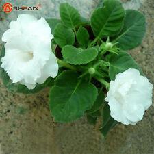 White Gloxinia Seeds Bonsai Balcony Flower Sinningia Potted Seed-100PC