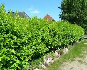 # 25 Stück Kirschlorbeer Prunus Caucasica 15-50cm Winterharte-Hecken-Pflanzware