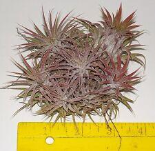 ionantha tillandsia clump of medium sized plants. airplant oahu hawaii bromeliad