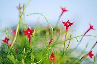 """die Federwinde """"Ipomoea quamoclit"""": zarte grüne Blätter, Blüten wie rote Sterne."""