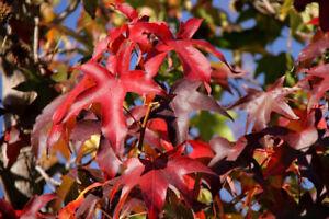 Amerikanischer Amberbaum Liquidambar styraciflua Pflanze 90-100cm Seesternbaum
